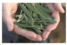 Chá de oliveira – Para que serve esta infusão?