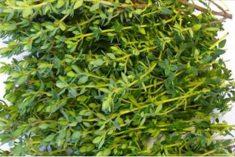 Esta é a erva mais poderosa para acabar com as dores de estômago, diarreia, artrite, dor de garganta e vírus da gripe!